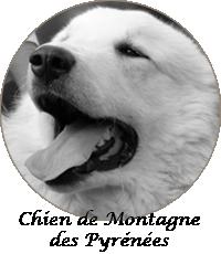 montagne des pyrénées chien